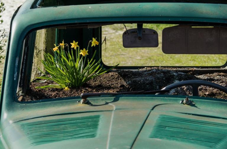 car daffodil.jpg