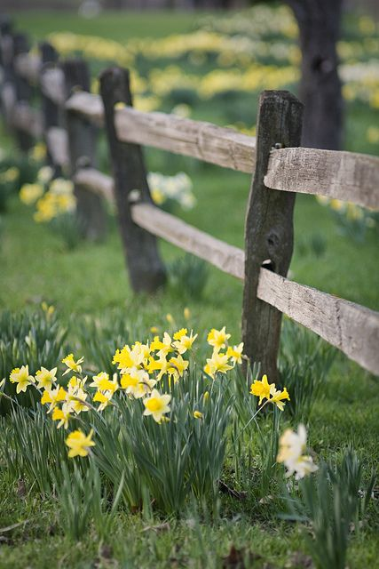 farm daffodils