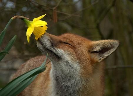 fox daffodil.jpg